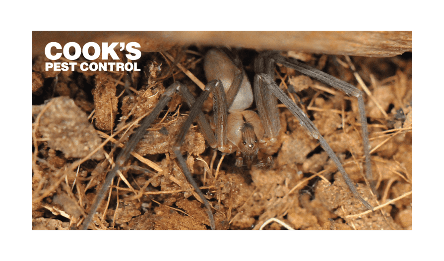 Image showing Brown Recluse Spiders