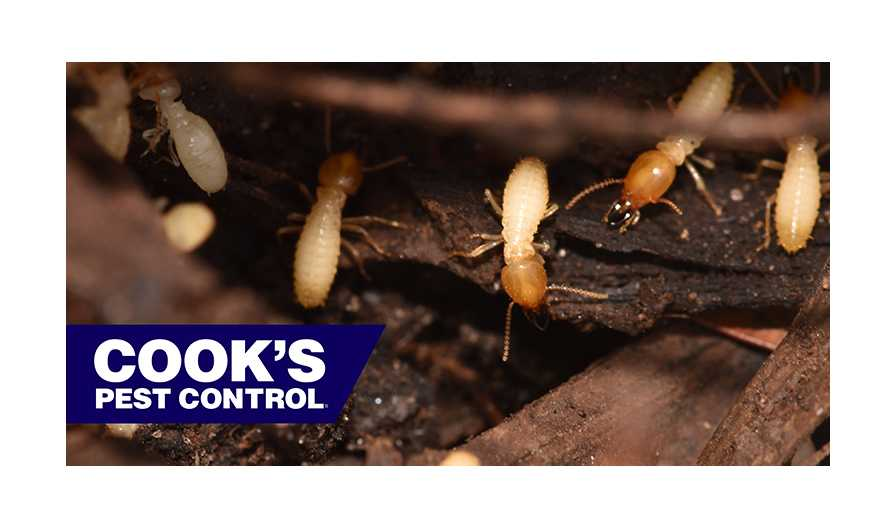 Image showing Pest Profile: Termites