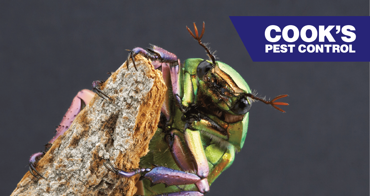 Image showing Pest Profile: Rainbow Scarabs