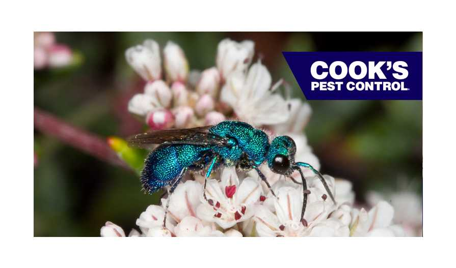 Image showing Pest Profile- The Cuckoo Wasp: A Beautiful Parasite (Chrysididae: Chrysis spp.)