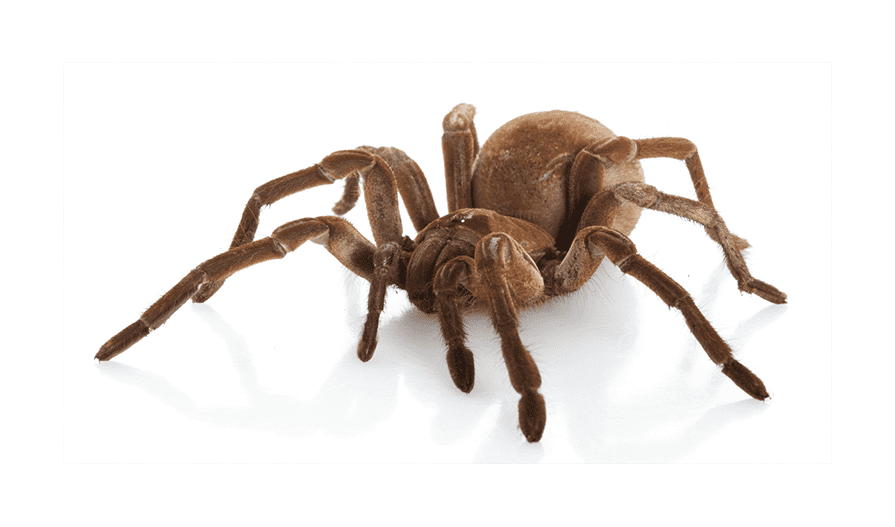 Image showing Goliath Bird-Eating Spider