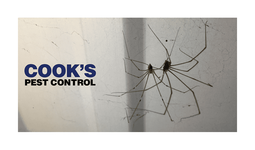 Image showing Daddy long legs – harmful or harmless?