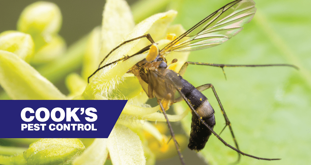 Image showing Pest Profile: Fungus Gnats
