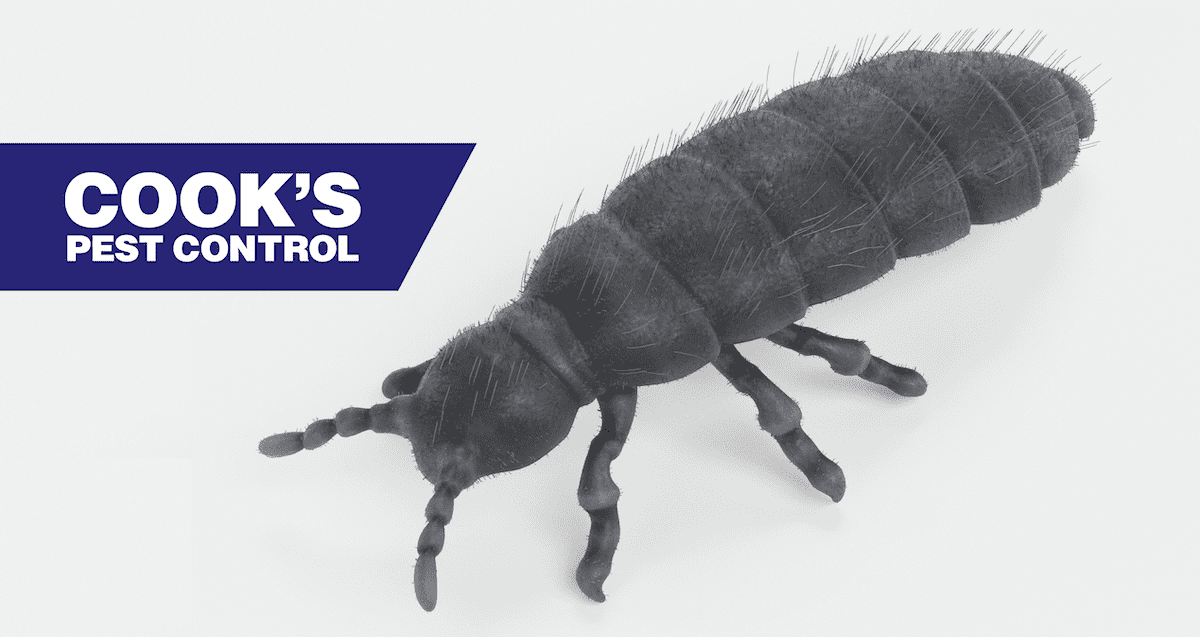 Image showing Insects in the Snow: Snow Fleas