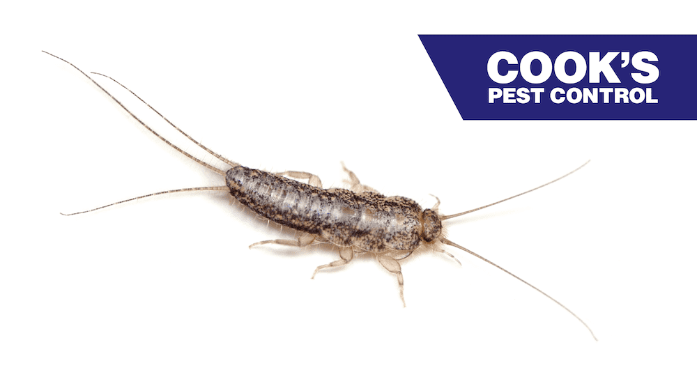 Image showing Silverfish