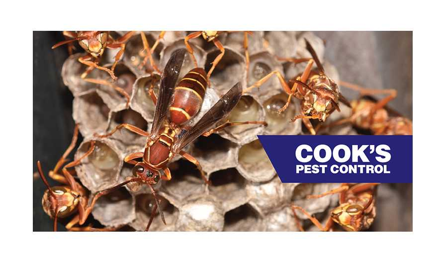 Image showing Pest Profile: Red Paper Wasp